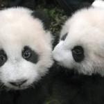 فضلات الباندا كوقود حيوي